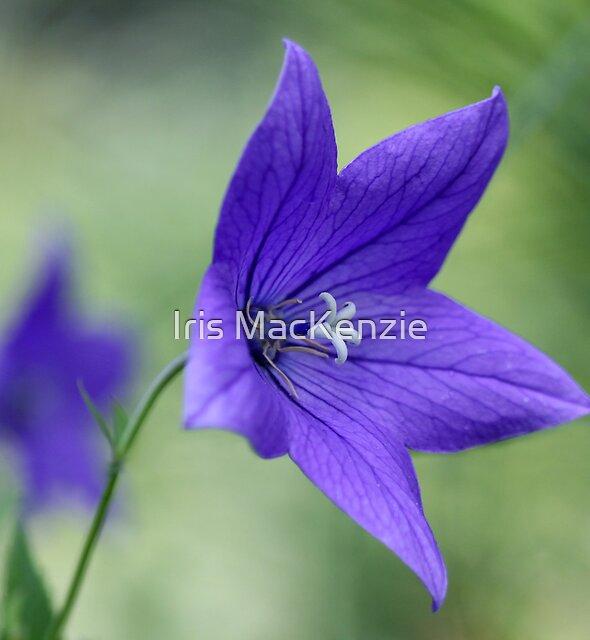 purple echo by Iris MacKenzie