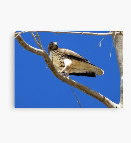 Red-tailed Hawk ~ Juvenille (mine) Canvas Print