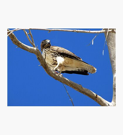 Red-tailed Hawk ~ Juvenille (mine) Photographic Print