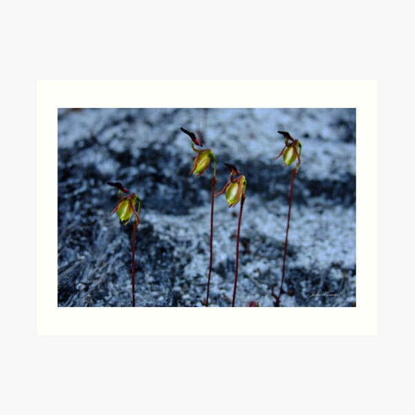 Four Flying Duck Orchids, Paracaleana nigrita Art Print