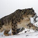 Snow leopard 12 by mrshutterbug