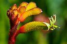 Colourful Kangaroo Paw by Renee Hubbard Fine Art Photography
