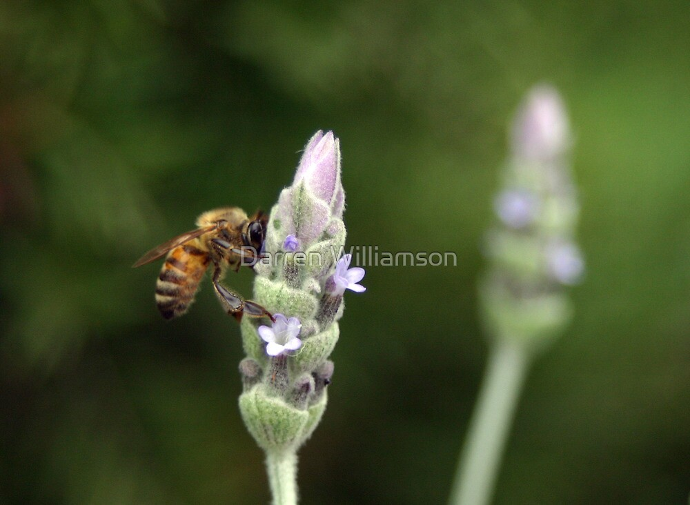 Bee on Lavender by Darren Williamson