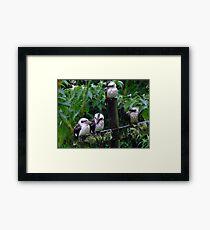 Kookaburra Family Framed Print