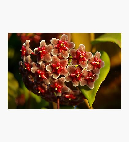 Red Hoya Photographic Print