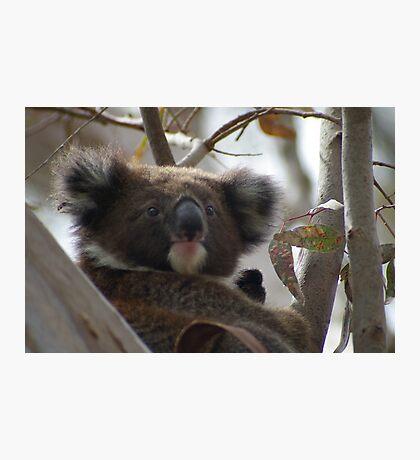Young koala - Adelaide Hills Photographic Print