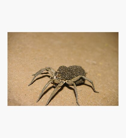 Wolf Spider and spiderlets Photographic Print