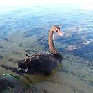 Black Swan by Robert Phillips