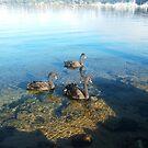 Three Swans by Robert Phillips