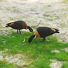 Two Ducks At Shenton Park Village by Robert Phillips