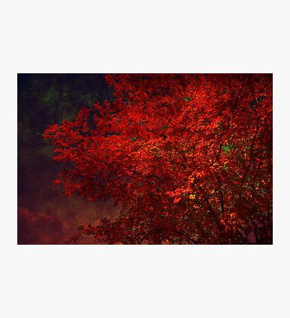 Red Maple Tree Photographic Print