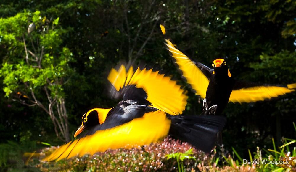Male Regent Bower Birds by David Woolcock