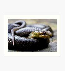 Marsh Snake, Hemiaspis signata Art Print