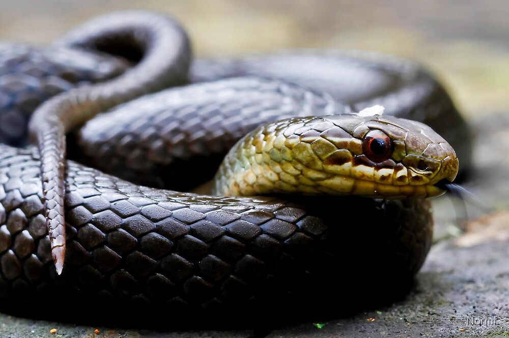 Marsh Snake, Hemiaspis signata by Normf