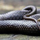 Black-Bellied Swamp Snake, Hemiaspis signata by Normf