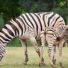 Zebra Mother With Young by Scott Carr