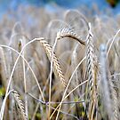 wheat by samos