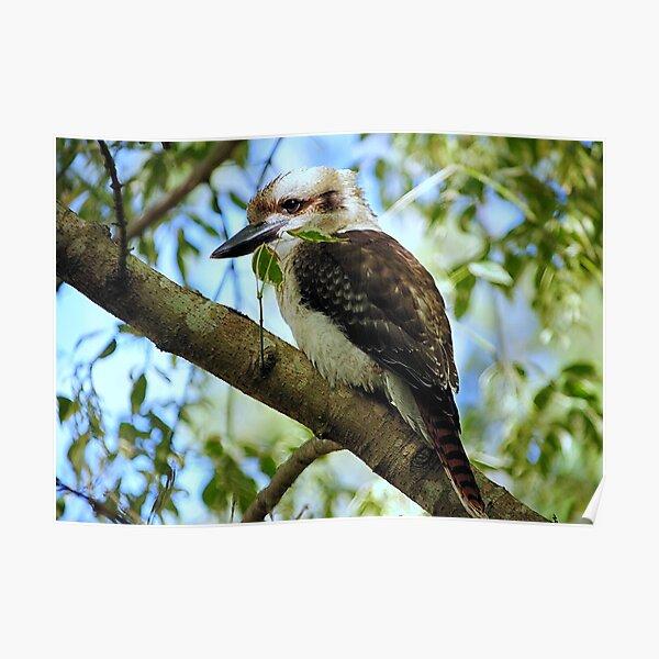 Kookaburra >> Poster