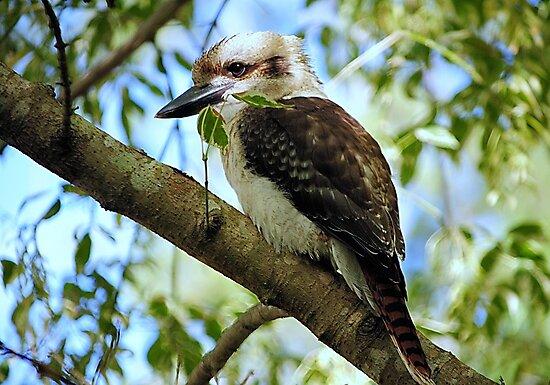 Kookaburra >> by JuliaWright