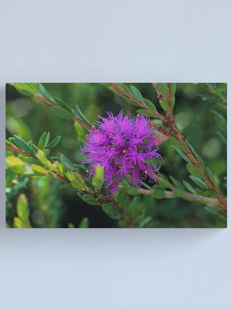 Alternate view of Melaleuca thymifolia Canvas Print