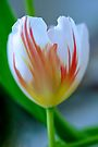 Fiery Tulip by Extraordinary Light