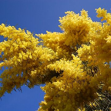 Sweet Wattle Wattle by cradlemountain