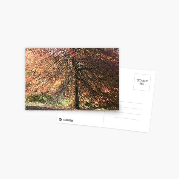 Autumn blaze, Mount Lofty Botanical Gardens,S.A. Postcard