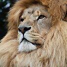Lion  by daveashwin