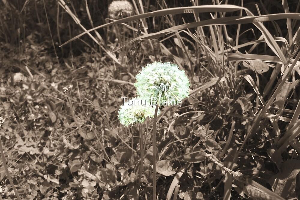 Dandelion in sepia by Tony Blakie