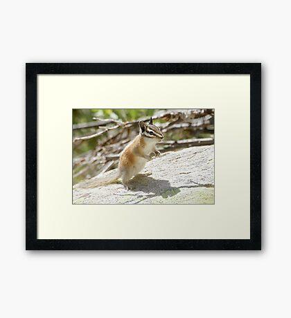 Chipmunk attitude Framed Print
