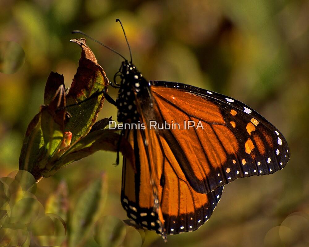 Monarch Moment by Dennis Rubin IPA