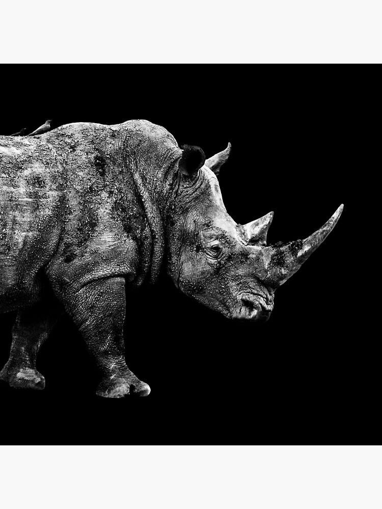 White rhinoceros on a black background south africa canvas picture print