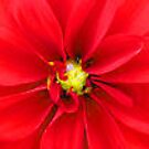 Red Dahlia Delight by teresa731