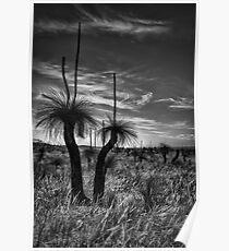 Grass Tree Sundowner Poster
