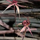 Veined Spider Orchids by Barb Leopold