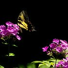 Tiger Swallowtail Butterfly On Phlox in Summer by MotherNature2