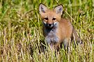 Fox Kit 2 by Michael Cummings