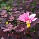 Pink Oxalis Flower by Douglas E.  Welch