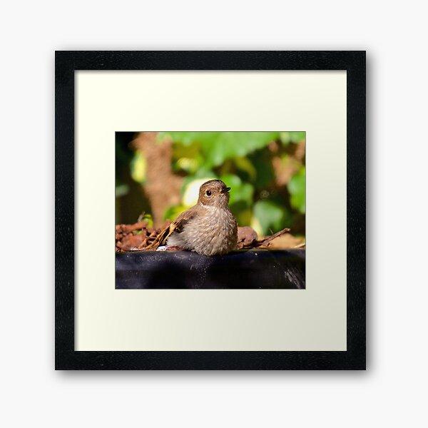 ROBIN ~ Flame Robin 3ua2AkZT by David Irwin ~ WO Framed Art Print