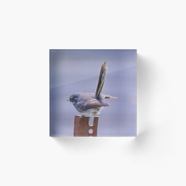 FANTAIL ~ Grey Fantail by David Irwin Acrylic Block
