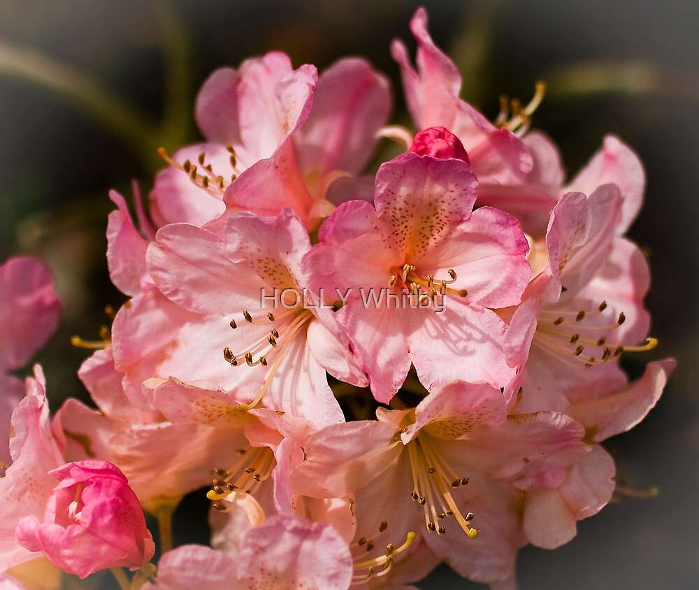 Rhododendron by Elaine123