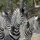 Zebra group up close von Anthony Goldman