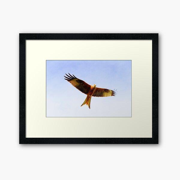 Red Kite in flight Framed Art Print