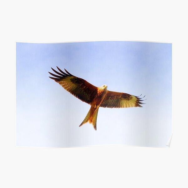 Red Kite in flight Poster