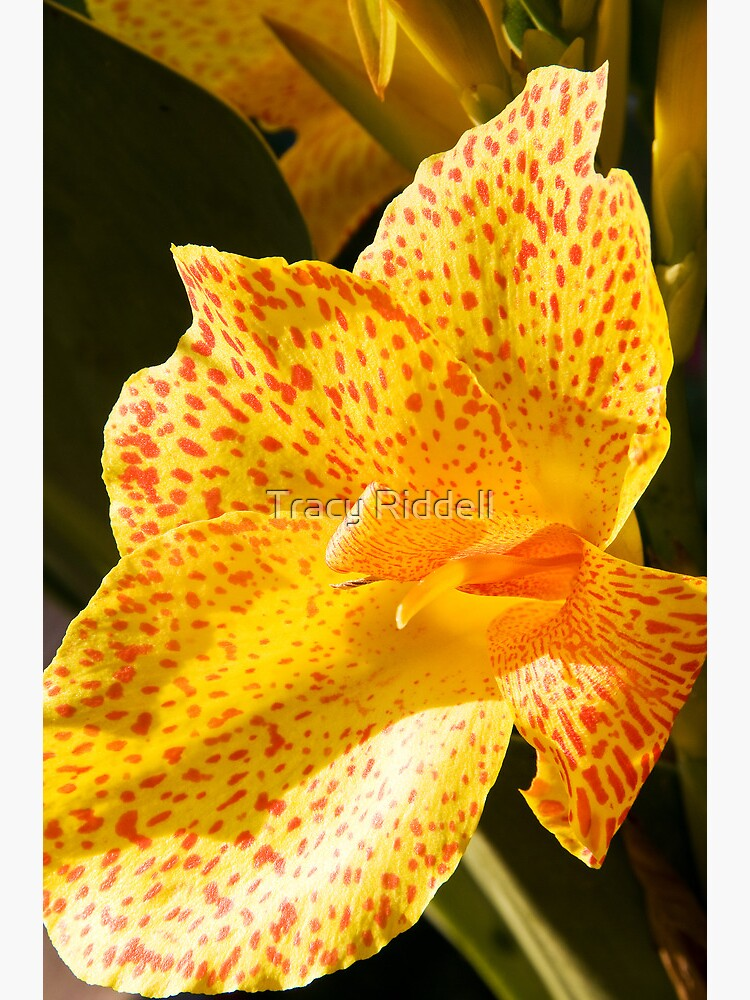 Canna Lily  by taos