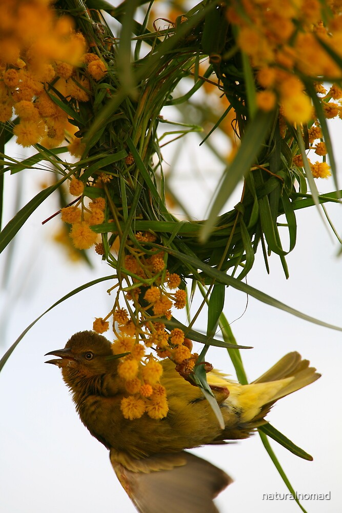 Cape Weaver by naturalnomad