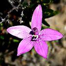 Pink Enamel Orchid, Elythanthera emarginata by JuliaKHarwood