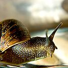 Snail #2 by Trevor Kersley