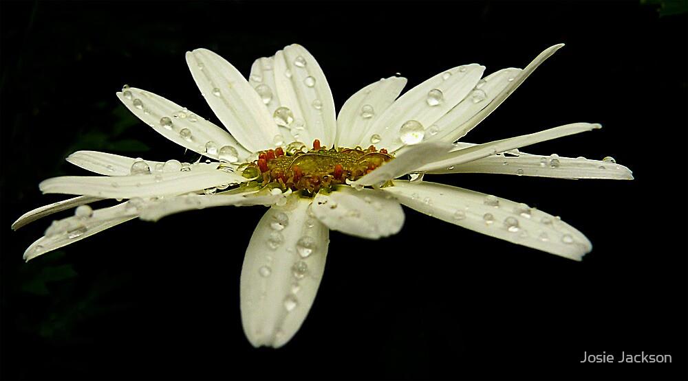 Daisy by Josie Jackson