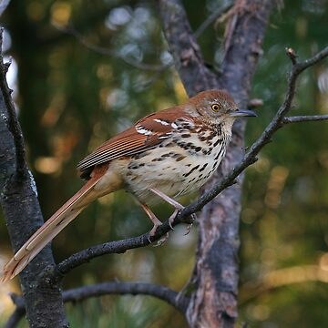 Brown Thrasher by JimmyD